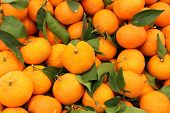 Harvest Of Mandarins Varieties Clementines