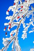 Rosehip Branches Covered With Hoarfrost Against The Blue Sky.