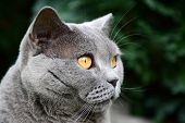 picture of portrait british shorthair cat  - Portrait photo of blue british shorthair cat with amber eyes - JPG