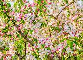 Flowering Branch Of Apple-tree In Spring