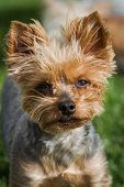 stock photo of yorkie  - portrait of a groom yorki walking outdoors in springtime with eye allergies