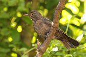 Juvenile European Blackbird