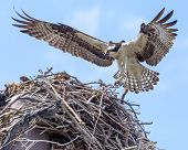 picture of osprey  - Brown  - JPG