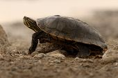 Painted Turtle Climbing