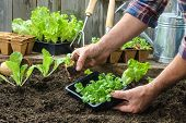 stock photo of root vegetables  - Farmer planting young seedlings of lettuce salad in the vegetable garden - JPG