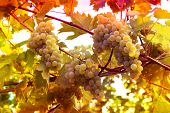 Vineyards at sunset in autumn. Ripe bunches of wine grapes in fall