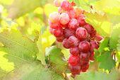 Bunches of ripe grape on plantation closeup