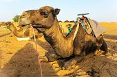 image of dromedaries  - Dromedary camels waiting for tourists in the desert - JPG