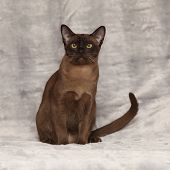 Beautiful Burmese Cat In Front Of Silver Blanket