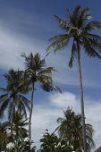 Palm Tree On The Beach, Phi-phi Island, Thailand