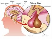 foto of hormones  - medical illustration of the pituitary gland and its position - JPG