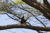 picture of fish-eagle  - African Fish Eagle on a tree at Lake Baringo Kenya - JPG