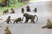 Baboons On Road In Kenya