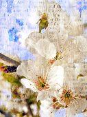Floración de primavera de una cereza dulce.
