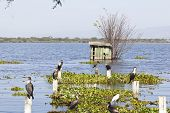 Cormorants At Lake Naivasha, Kenya