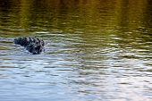 An Alligator In The Water
