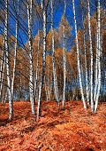 Autumn in the birch forest