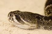 Eastern Diamondback Rattlesnake, Crotalus Adamanteus