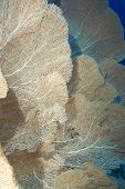 picture of molly  - A Colony of Giant sea fans  - JPG