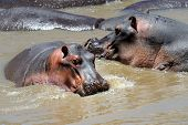 foto of hippopotamus  - Group of hippopotamus  - JPG