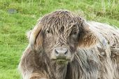 pic of highland-cattle  - Close up of the face of a cross bred highland cow - JPG