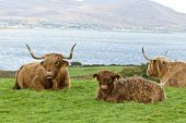 pic of calves  - Highland cattle mother and calf lying down in a field above the sea Mull Scotland - JPG