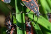 image of tobacco barn  - Boxelder bug crawls on a tobacco barn  - JPG