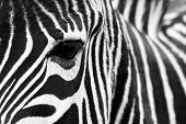 Zebra close up.