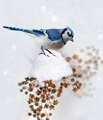stock photo of blue jay  - Digital Painting Of Blue Jay In Winter - JPG