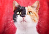 Amusing Calico Cat