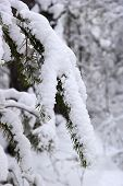 Branch Coniferous Tree In The Snow