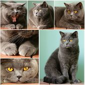 collage pet - British shorthair cat with orange eyes