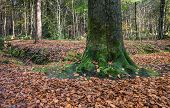 Old Beech Trunk In An Autumnal Forest