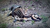 image of cow skeleton  - decaying carcass of a cow that got suck in the mud