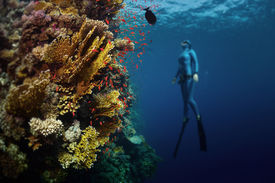 picture of bottomless  - Underwater shot of the lady free diver ascending along the vivid coral reef - JPG