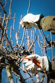 image of prunes  - Pruning peach-tree brunch with a pruning shears