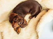 foto of dachshund dog  - Animals at home - JPG