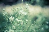 picture of small-flower  - small white flowers in garden - JPG