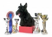 picture of scottish terrier  - scottish terrier and trophy in front of white background - JPG