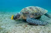 foto of sea-turtles  - single great sea turtle with yellow exotic fish on the bottom of tropical sea - JPG