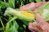 foto of corn cob close-up  - A close up of an old man hands holds a corn - JPG
