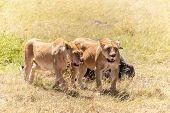 image of female buffalo  - Lions Feeding  - JPG
