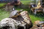 stock photo of terrapin turtle  - Two turtles - JPG