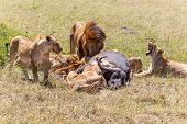 picture of lion  - Lions Feeding - lions eats the prey against the backdrop of the savannah Kenya Africa