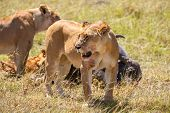 stock photo of african lion  - Lions Feeding  - JPG
