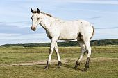 image of appaloosa  - beautiful white appaloosa foal standing in a field and looking at the camera - JPG