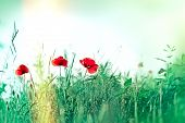 foto of poppy flower  - Red poppy  - JPG