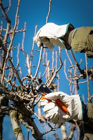 picture of prunes  - Pruning peach-tree brunch with a pruning shears ** Note: Shallow depth of field - JPG