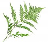 picture of fern  - Green fern leaf isolated on white - JPG