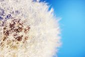 image of dandelion seed  - Beautiful dandelion with seeds - JPG